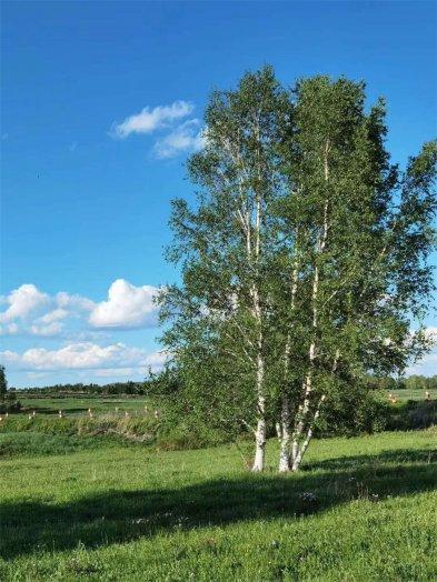 2020年纳新草原行 —— 俊朗又妖娆的白桦林