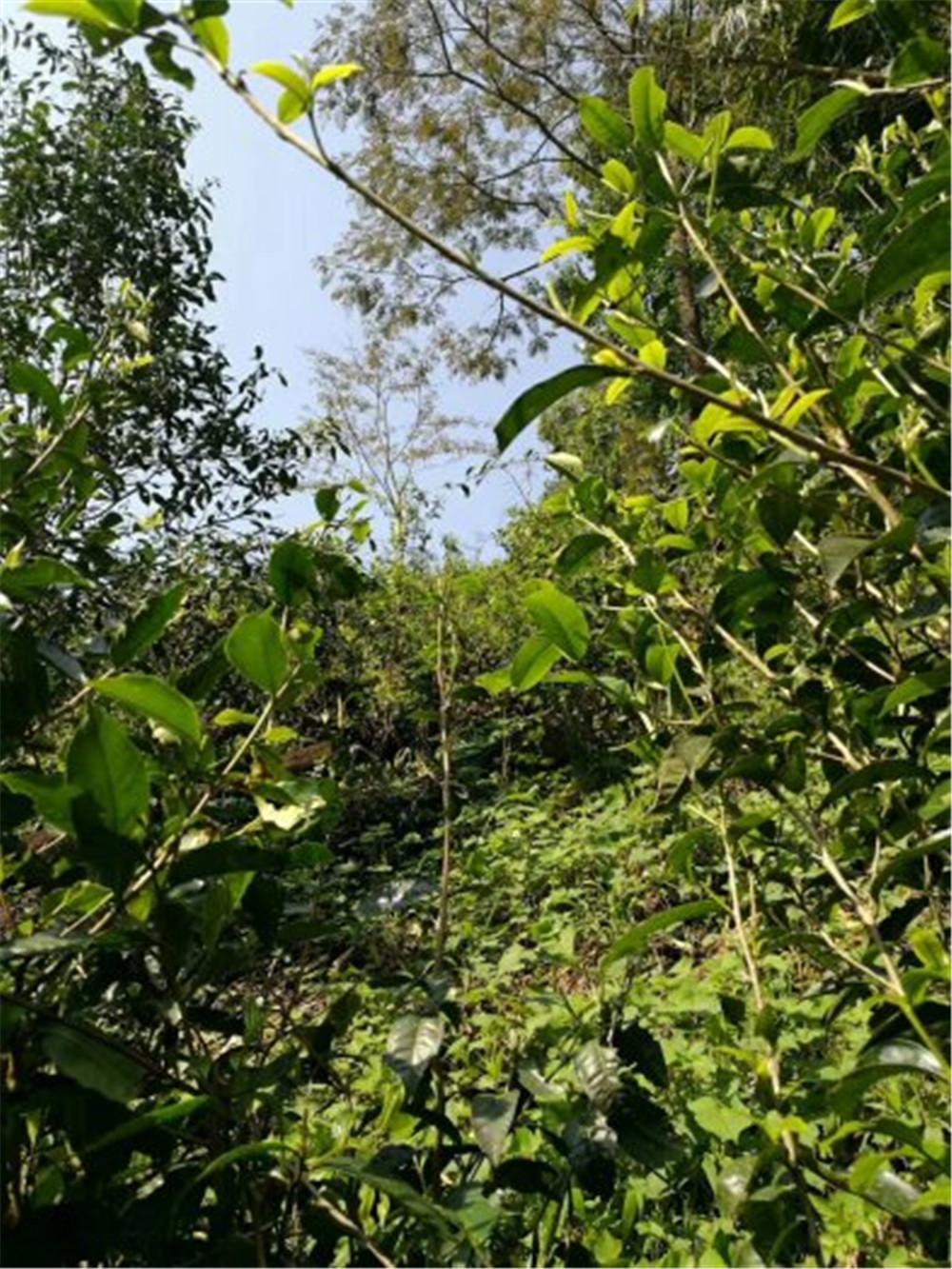 2018纳新云南茶山行——勐海县勐宋乡纳新茶业最主要的原料供应地