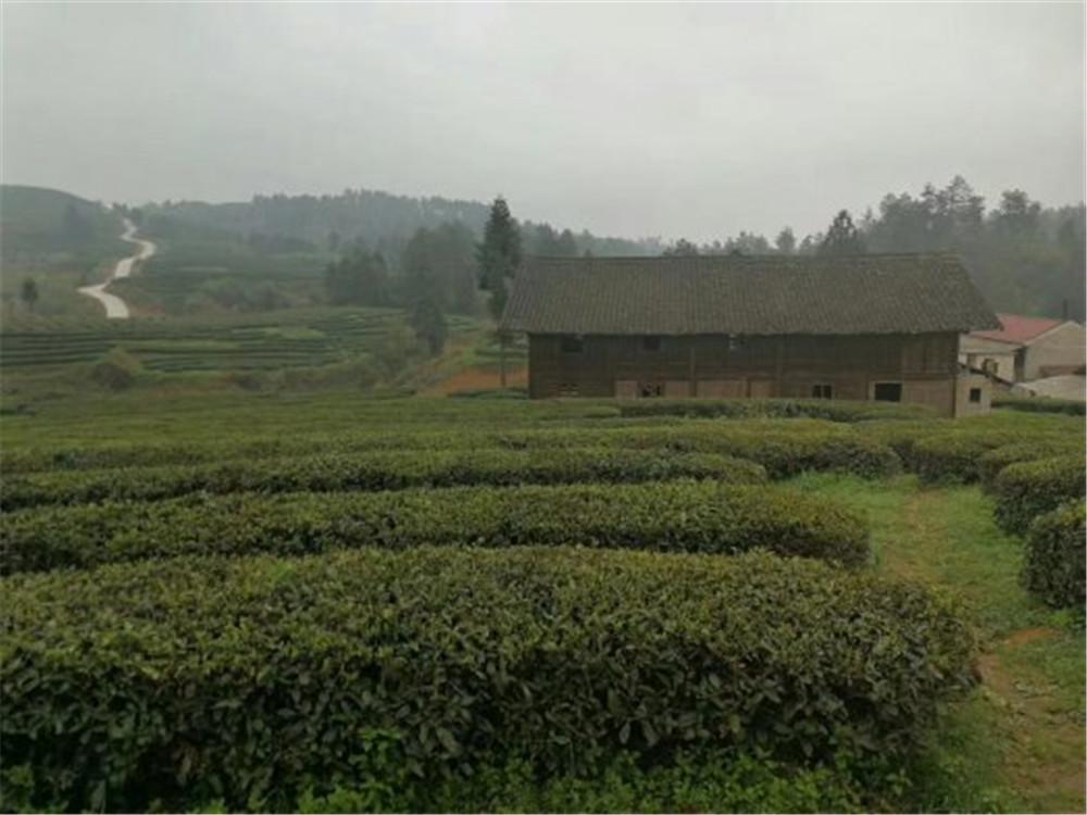 2018纳新贵州茶山行——镇远舞阳茶厂随手拍